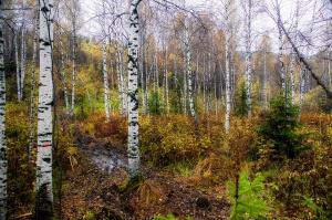 Autumn in birch forest, Siberia, Foto: Taters