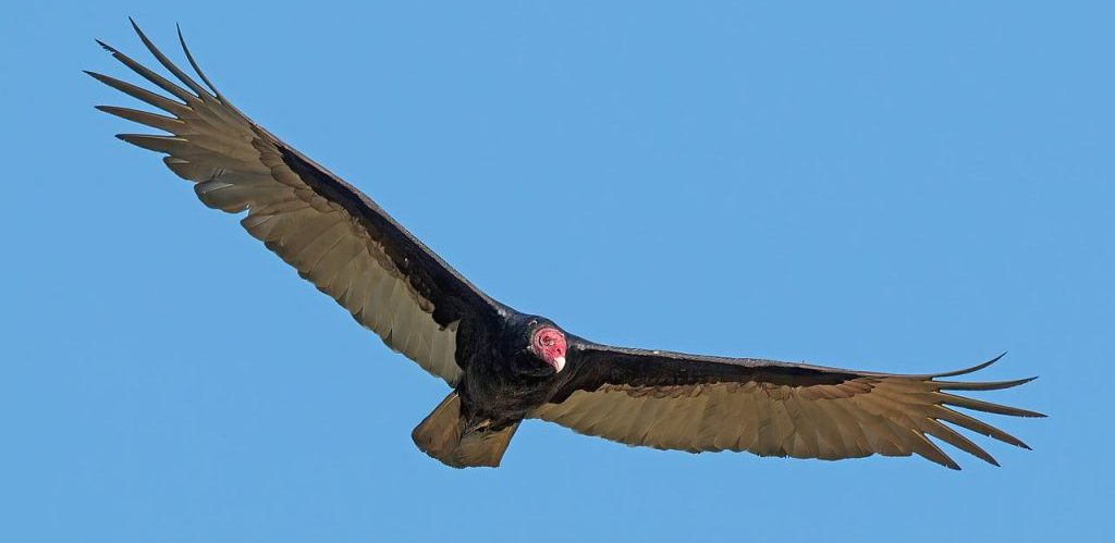 Turkey vulture Cathartes aura in flight by Charles J. Sharp