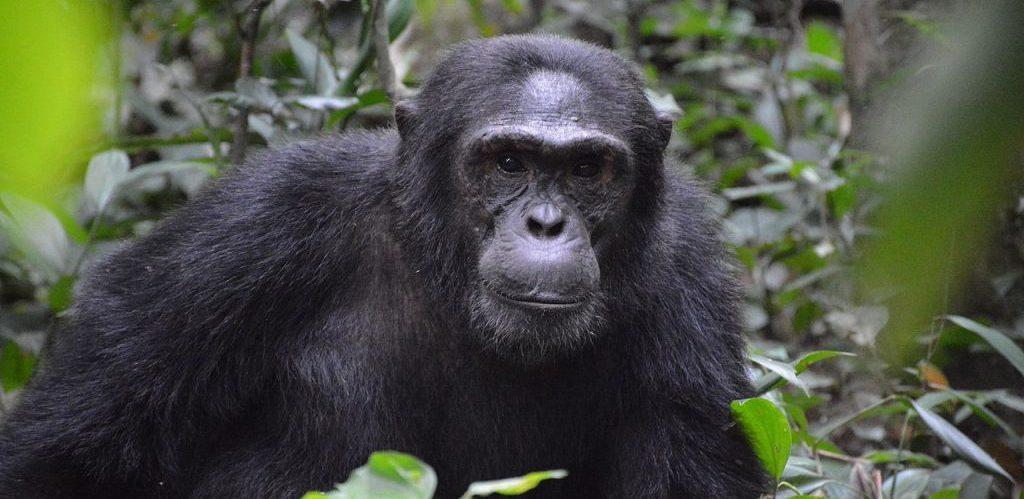 An Alpha Male Chimp in Kibale by Vincent Mugaba